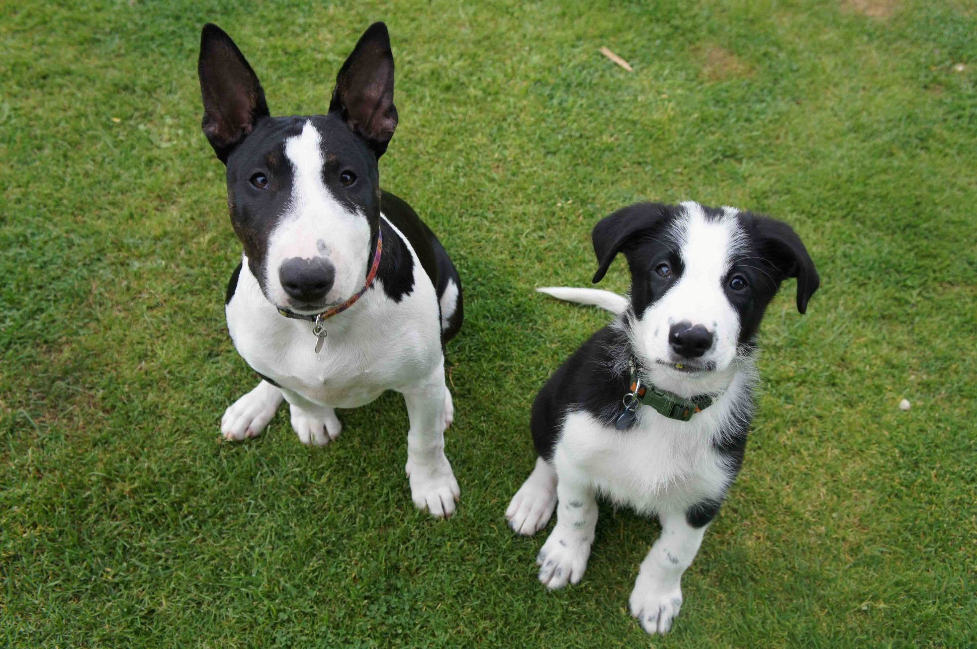 Poppy (left) and Spencer (right) - English Bull Terrier and